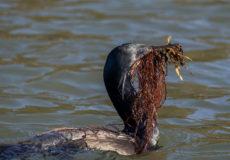 Moss Landing/Elkhorn Slough birdlife