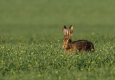 Brown hare and red-legged partridge
