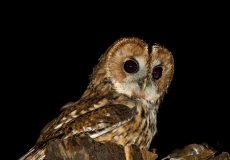 Our tawny owl