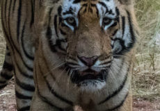 Royal Bengal tiger 'Matkasur'