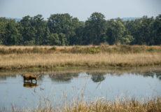 Barasingha  (swamp deer)