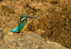 India's common kingfishers