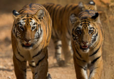 Royal Bengal tiger 'Maya' and cubs