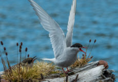 Antarctic terns