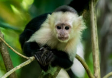 White-faced capuchin monkeys
