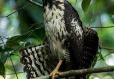 Costa Rica Birds of prey