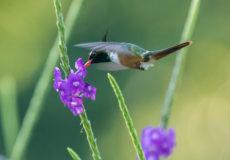 Casa Corcovada hummingbirds