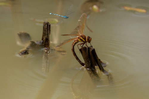 Brown hawker and azure damselfly