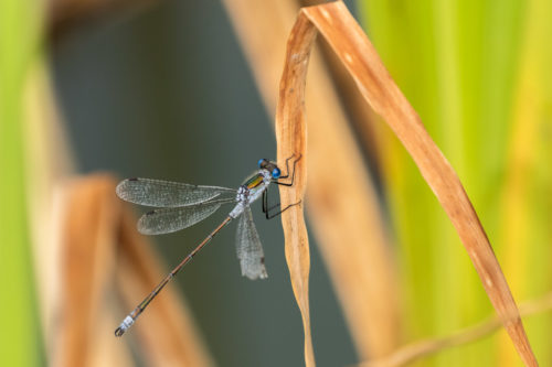 blue-tailed damselfly