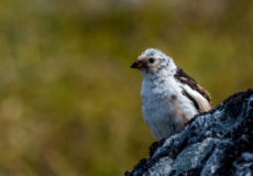Iceland/Greenland land birds and waders