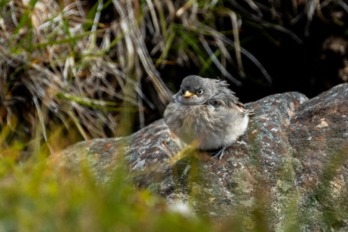 snow bunting chick