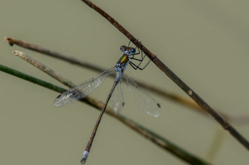 Blue-tailed damselfly 2