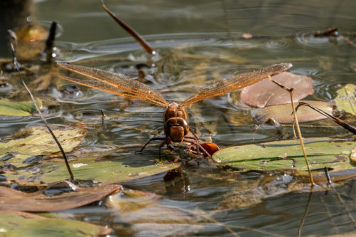 Brown hawker 7