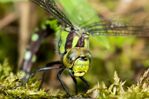 Southern hawker 2