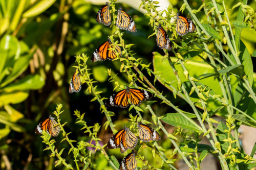 Common tiger 2