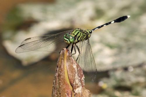 Green skimmer 3