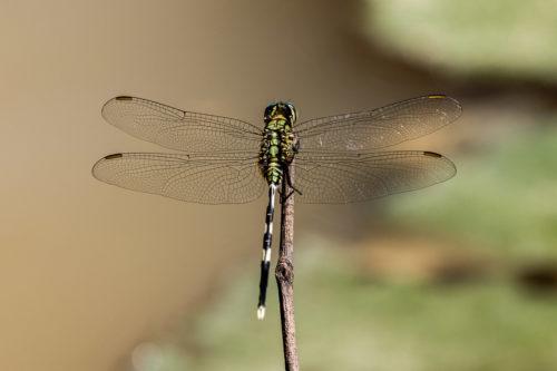 Green skimmer 4