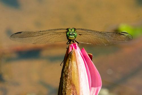 Green skimmer 5