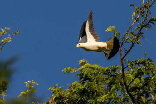 Imperial pigeon 2