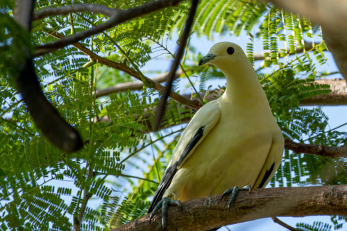 Imperial pigeon 3