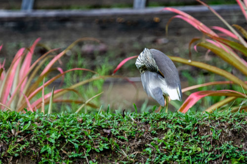 Indian pond heron 2