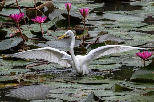Intermediate egret 2