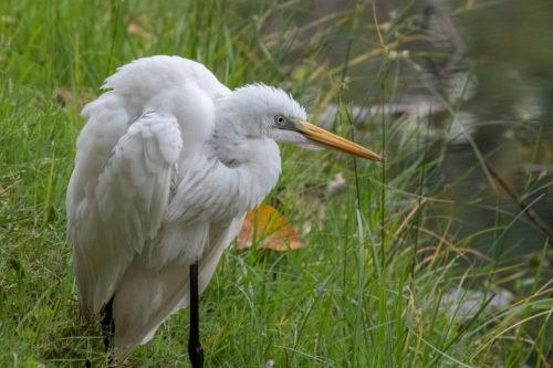 Intermediate egret 5