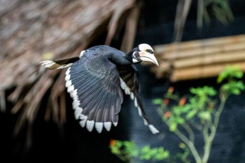 Oriental pied hornbill 4