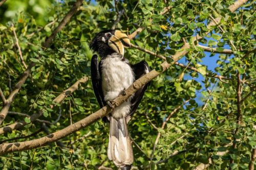 Oriental pied hornbill 8