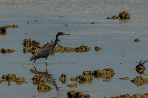 Pacific reef heron 3