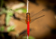 Dragonflies and damselflies of Thailand