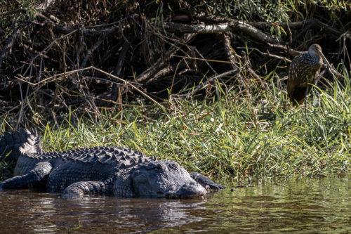 American alligator 6