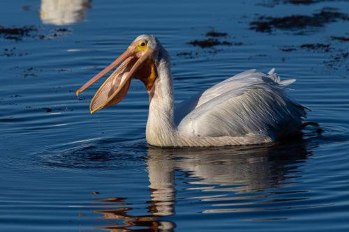 American white pelican 6