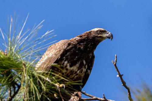 Bald eagle juv