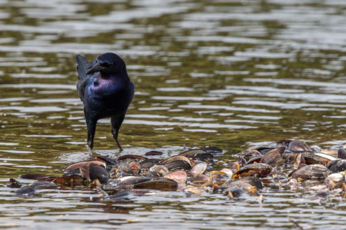 Bpoat-tailed grackle 7