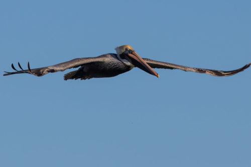 Brown pelican 9