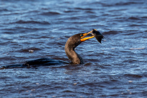 Double crested cormorant 4