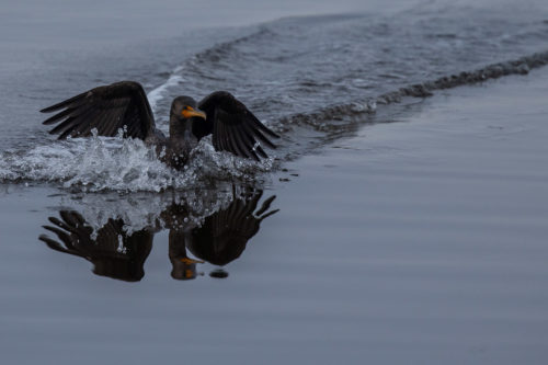 Double crested cormorant 5