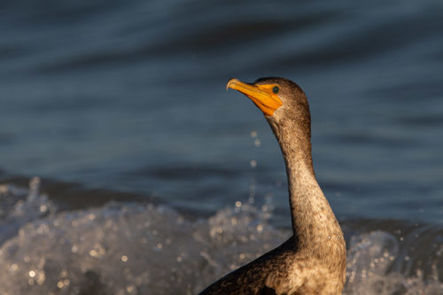 Double-crested cormorant 7