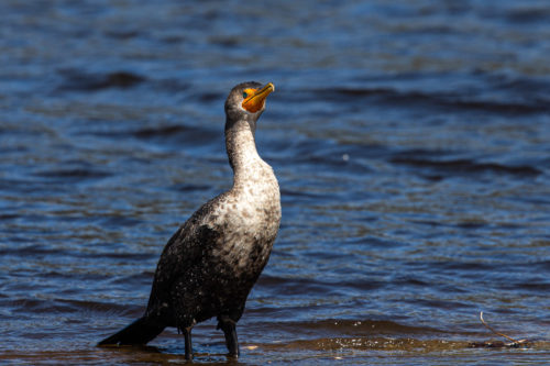 Double-crested cormorant 9