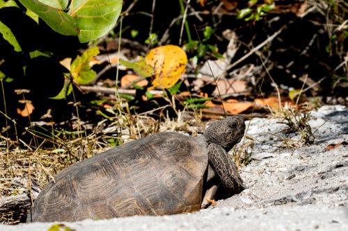 Gopheer tortoise