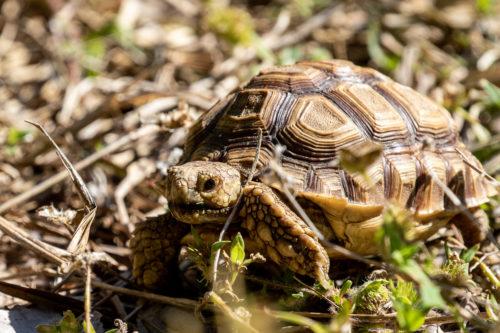 Gopher toprtoise baby