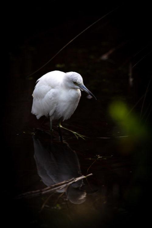 Little blue heron 4