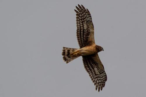 Northern harrier 1
