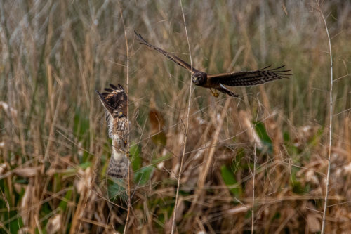 Northern harrier and red shouldered hawk