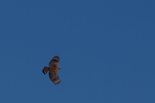Red shouldered hawk 4