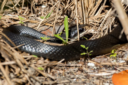 Southern black racer 1