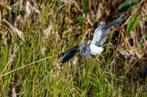 Tri-coloured heron 2