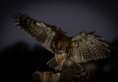 Our Tawny owls