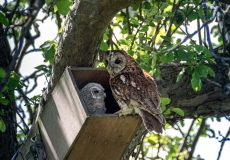 Tawny owls at the nest